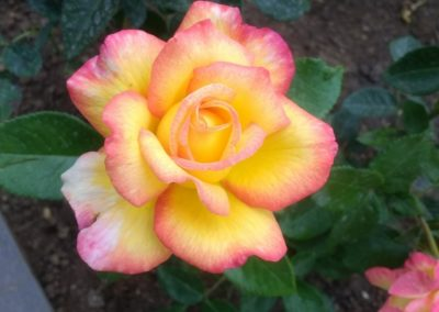 Rosa 'mitsouko'