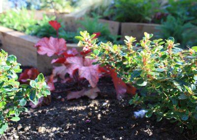 Escallonia 'Red Dream' hedge