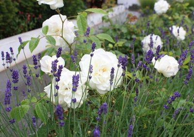 Rose 'Claire Austin' with Lavender angustifolia 'Munstead'