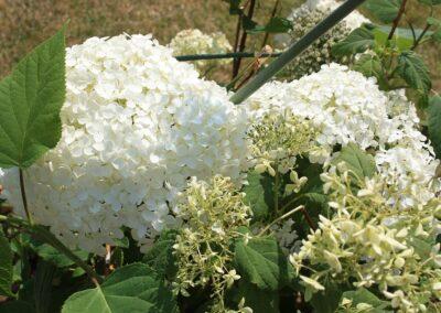 Hydrangea arboriscens 'Annabelle'